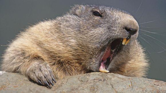 A sleepy marmot.