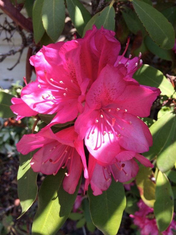 The rhododendrons bloom outside my house for just a couple short weeks each year. A reminder to slow down. To live in the present. And that these little moments end up being most important.