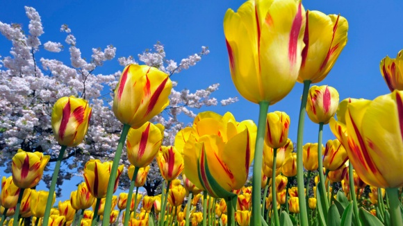 yellow_red_tulips_1920x1080