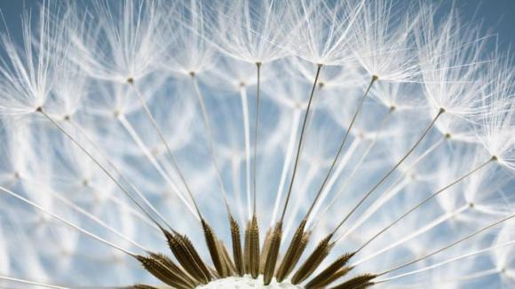 close up of dandelion seeds flower