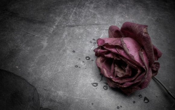 dead rose by wolfman570