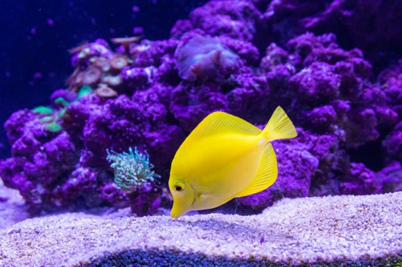 yellow saltwater fish